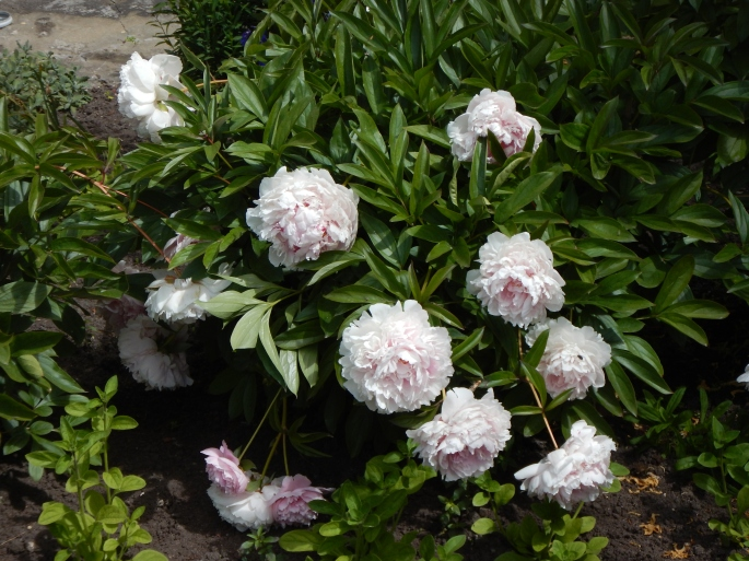 Peonies pretty much the same in Rybachy as anywhere; worth mentioning.